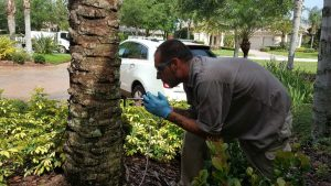 Always Green technician performing an arborject injection in a palm tree